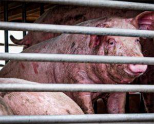 Varkens naar het slachthuis