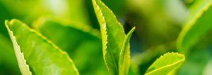 Groene thee bladeren Green Juice