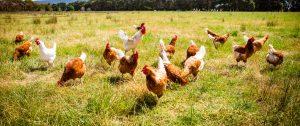 kippen een beter leven gehad